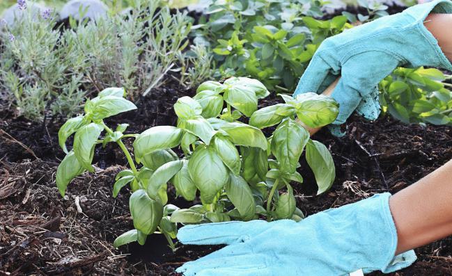 Como-cultivar-albahaca-en-casa